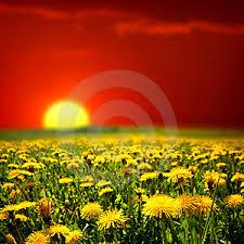 Le pissenlit - Folie passagère n°75 dans zoNe à mOi lever-de-soleil-sur-le-gisement-de-pissenlit-thumb5513743