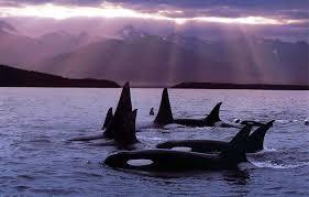 killer whale     نهنگ وال  قاتل