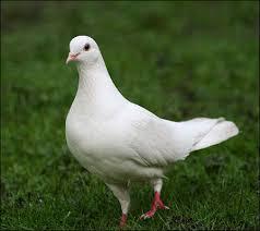feral_pigeon470_448x400.jpg