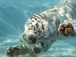 tigre_blanc_cc03
