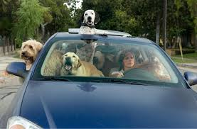 http://tbn1.google.com/images?q=tbn:bw61RP3TnbK7KM:http://www.adog.co.uk/year-of-the-dog/dogs_in_car.jpg