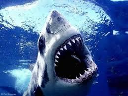 http://tbn1.google.com/images?q=tbn:cohhxayk9XpLkM:http://www.lauderdalefishing.com/images/shark.jpg