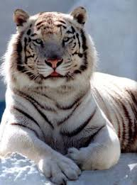 tigre_blanc3
