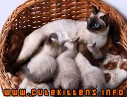 siamese-kittens-with-mom.jpg