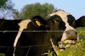 تنش حرارتی گاوها