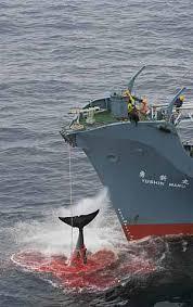 chasse-baleine.jpg
