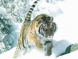 le-tigre-de-siberie