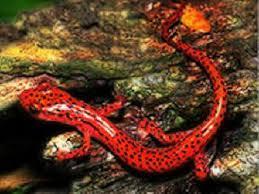 external image salamander.jpeg