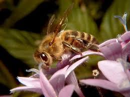 جهت یابی زنبور عسل